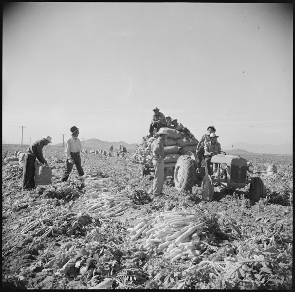 Gila River Relocation Center, Rivers, Arizona. Evacuee farmers are here harvesting Daikon, a large . . . - NARA - 538622