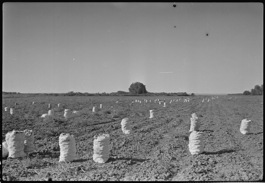 Granada Relocation Center, Amache, Colorado. Potatoes produced on the Amache farm. - NARA - 537327