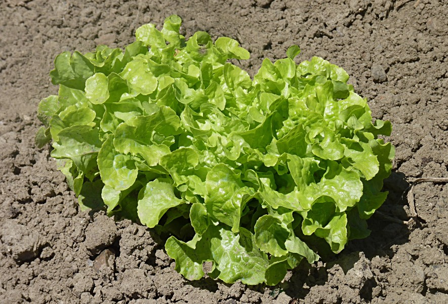 Green Oak Leaf lettuce J1