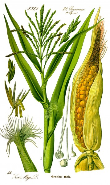 Illustration Zea mays0 clean