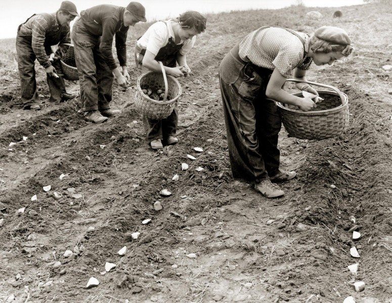 Men and women planting potatoes (circa 1950)