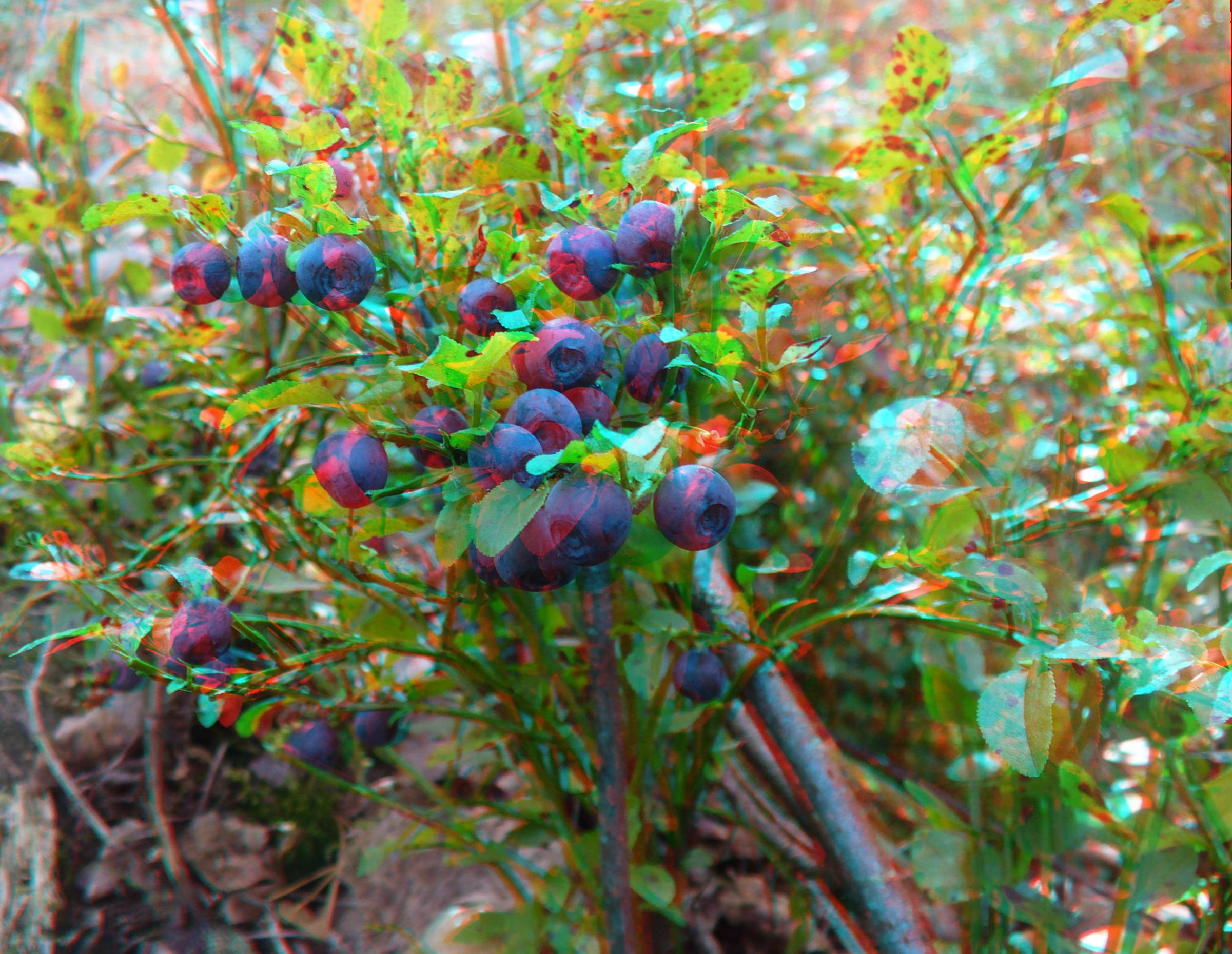 Anaglyph of bilberry - Mustikka anaglif
