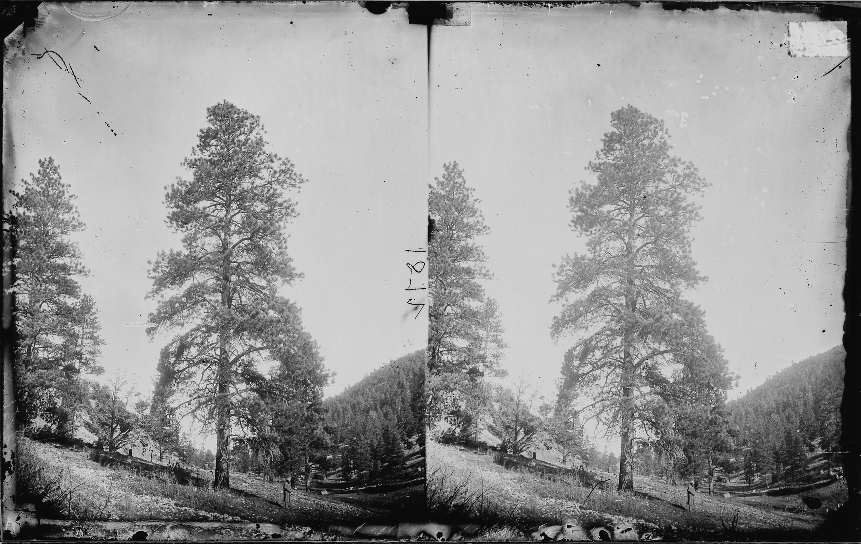 YELLOW PINE, TIMBER TREE OF HIGH PLATEAUS IN UTAH, ARIZONA & NEW MEXICO, COLORADO RIVER - NARA - 524009