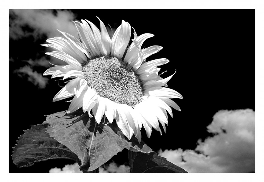 Sunflower (15450208703)