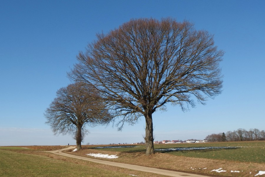 2015 Two trees waiting for spring season