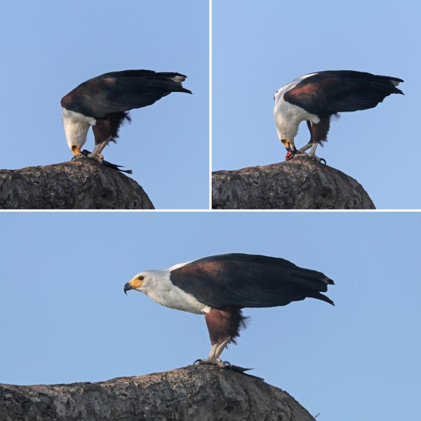 African fish eagle (Haliaeetus vocifer) feeding composite