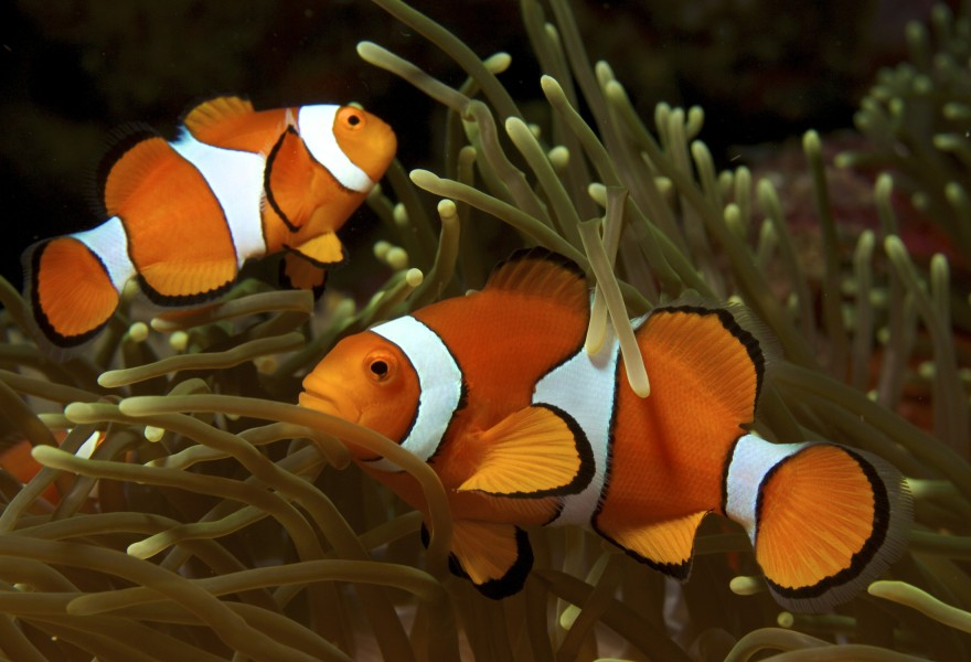 Amphiprion ocellaris (Clown anemonefish) PNG by Nick Hobgood