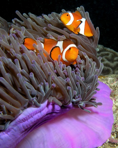 Anemone purple anemonefish