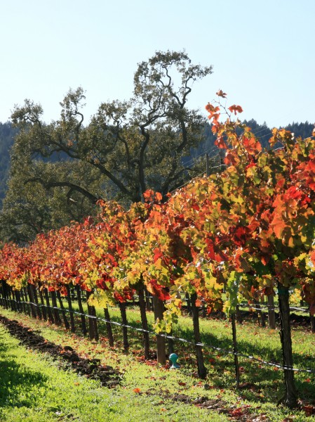 Autumn vineyard in Napa Valley
