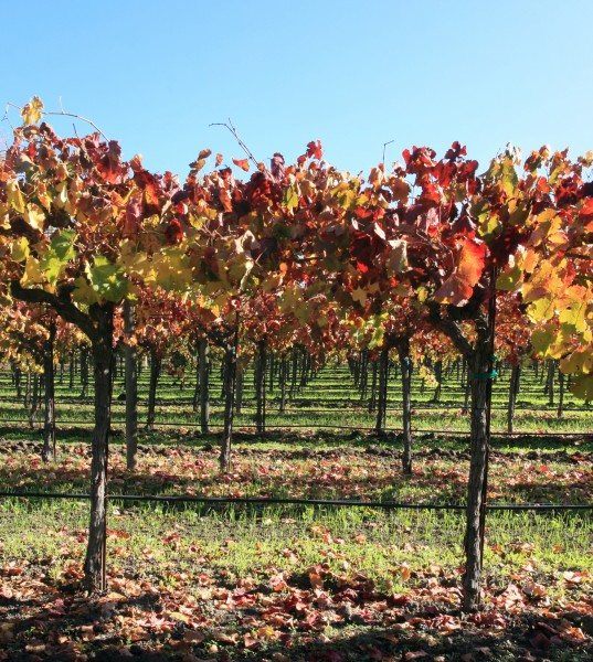 Autumn vineyard in Napa Valley 2