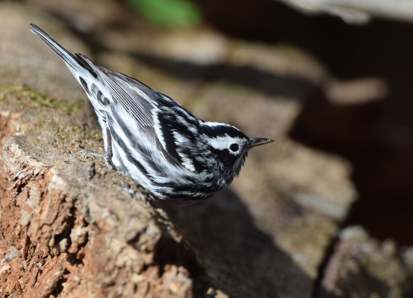 Black-and-white Warbler (works) (32216372931)