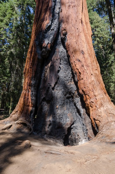 Burnt lower trunk of a giant sequoia 2013