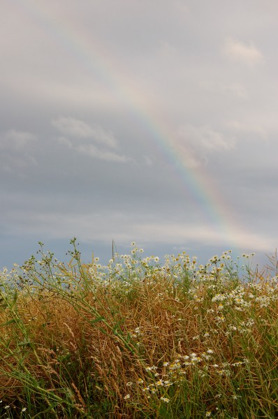 Camomile Colza and Rainbow 01
