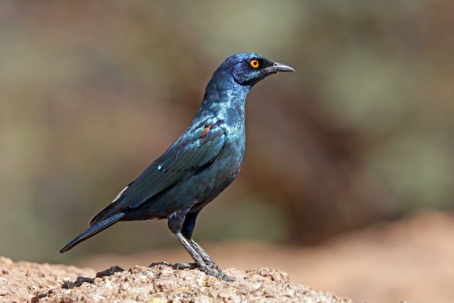 Cape glossy starling (Lamprotornis nitens)