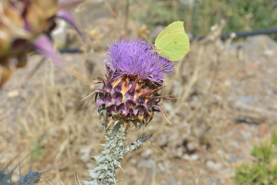 Carduus on Crete with clouded yellow
