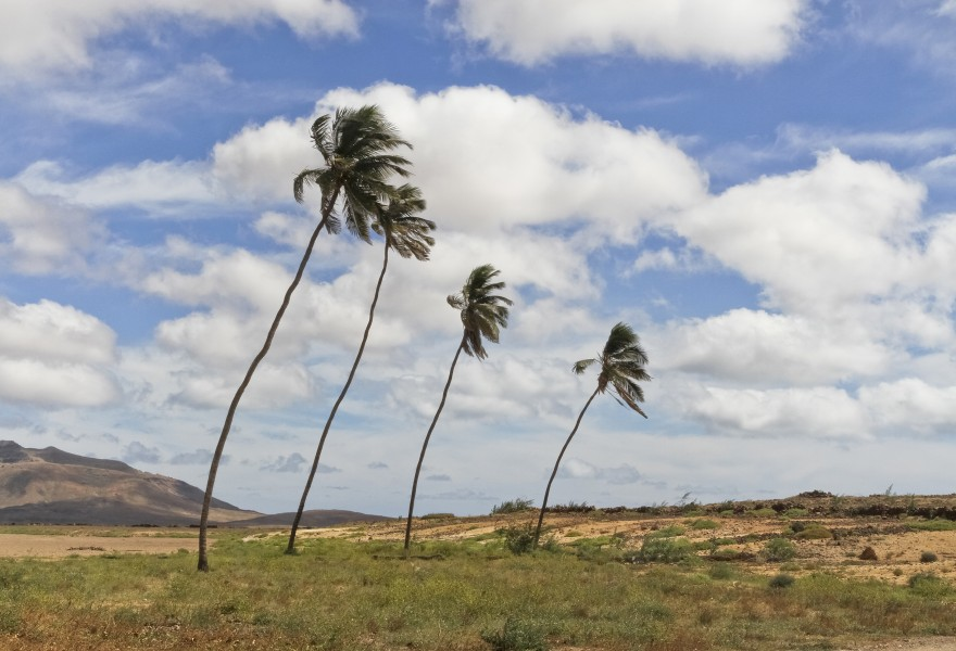 Coconut trees in Boa Vista, Cape Verde, December 2010 - jpg