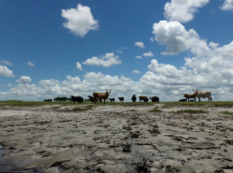Cows observed from the Econlockhatchee River