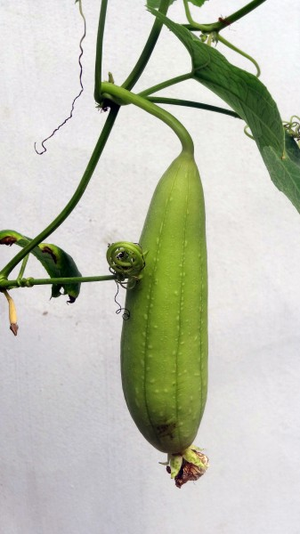 Cucumber in jaffna