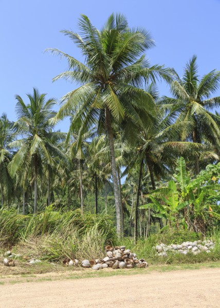 District-Kudat Sabah Coconut-trees-at-the-road-to-Kg-Loro-Kecil-01