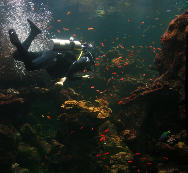 Diver is cleaning aquarium in California Academy of Sciences 1