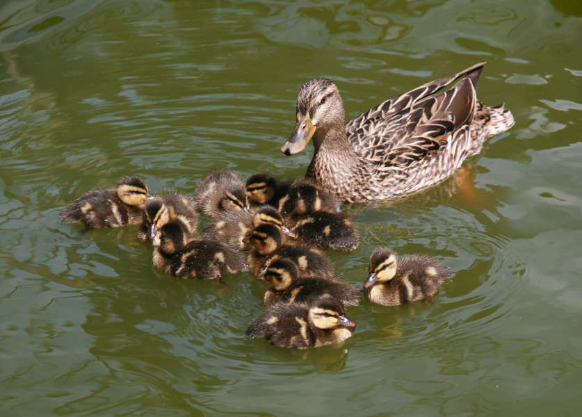 Female Mallard and ducklings in Golden Gate Park