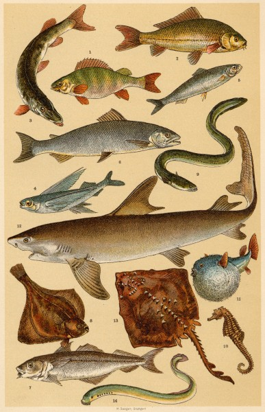 Fishes from Popular Natural History by Henry Scherren