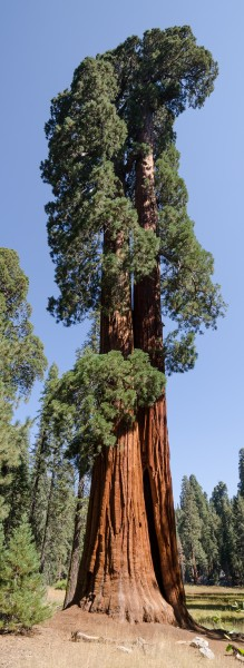 Giant sequoia in Sequoia National Park 2013