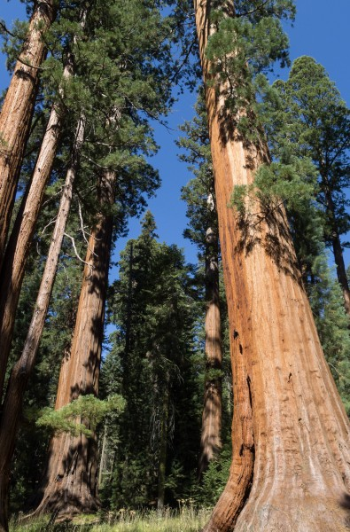 Giant sequoias in Sequoia National Park 02 2013