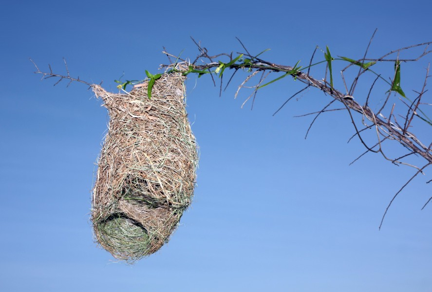 Half-built nest of Baya Weaver