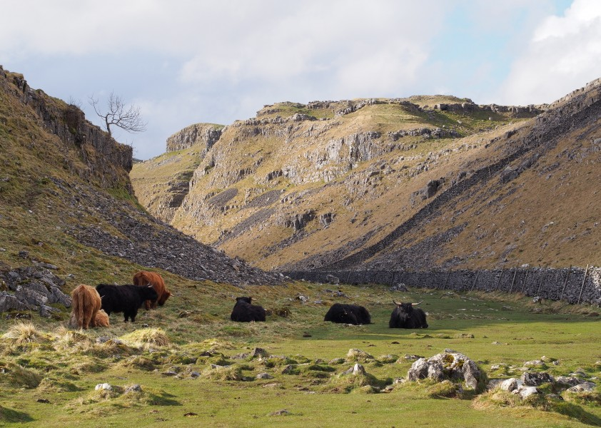 Highland Cattle on Pennine Way above Malham Cove 2014-03