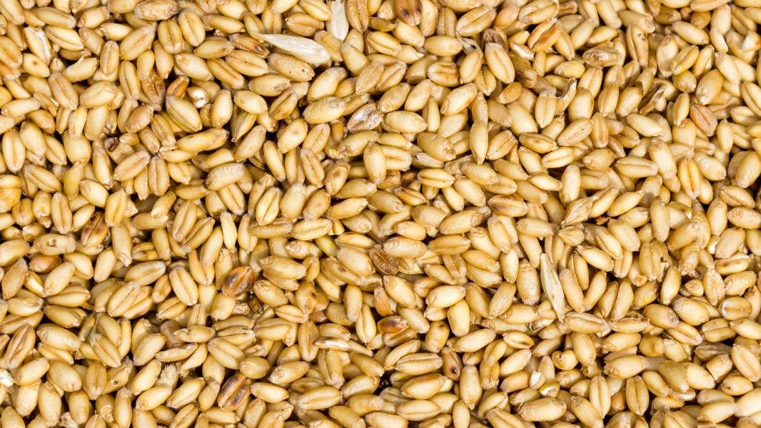 Naked wheat(Triticum aestivum) in Nepal-September 27, 2016-IMG 8015