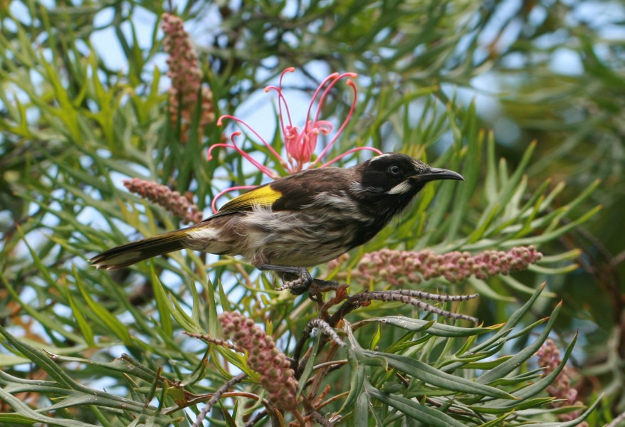 New Holland Honeyeater Kioloa