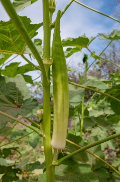 Okra in Margarita Island