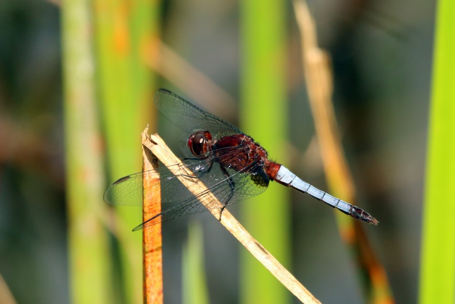 Red faced dragonlet (Erythrodiplax fusca) male