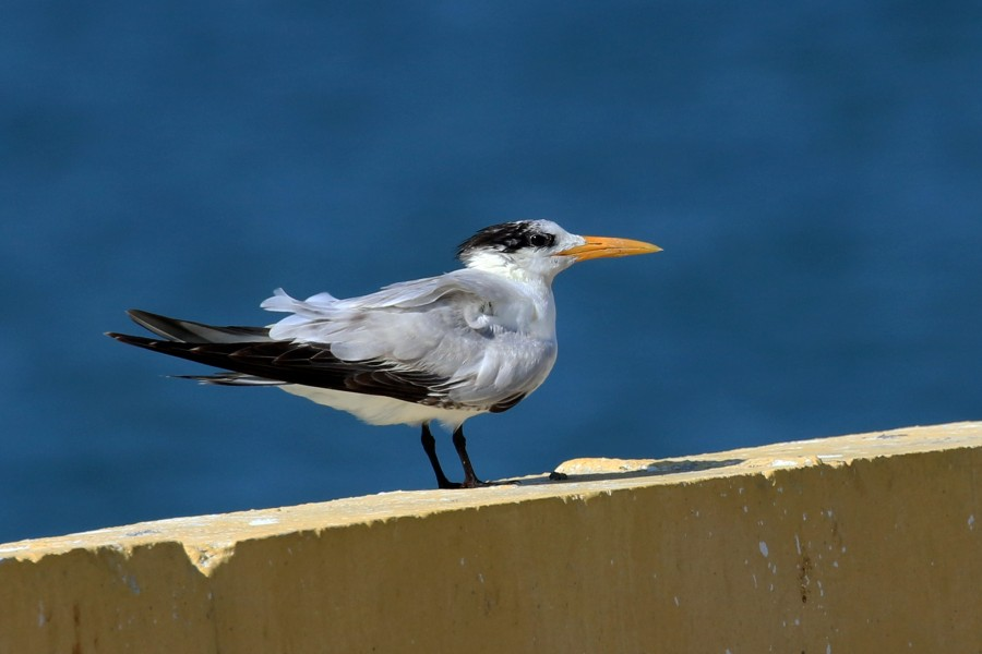 Royal tern (Thalasseus maximus maximus) juvenile winter plumage