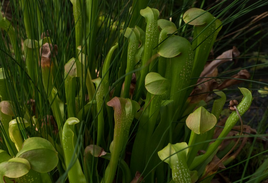 Sarracenia minor at the Brooklyn Botanic Garden (81407)