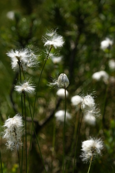 Scheiden-Wollgras Eriophorum vaginatum 2