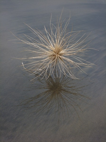 Spinifex sericeus seed head