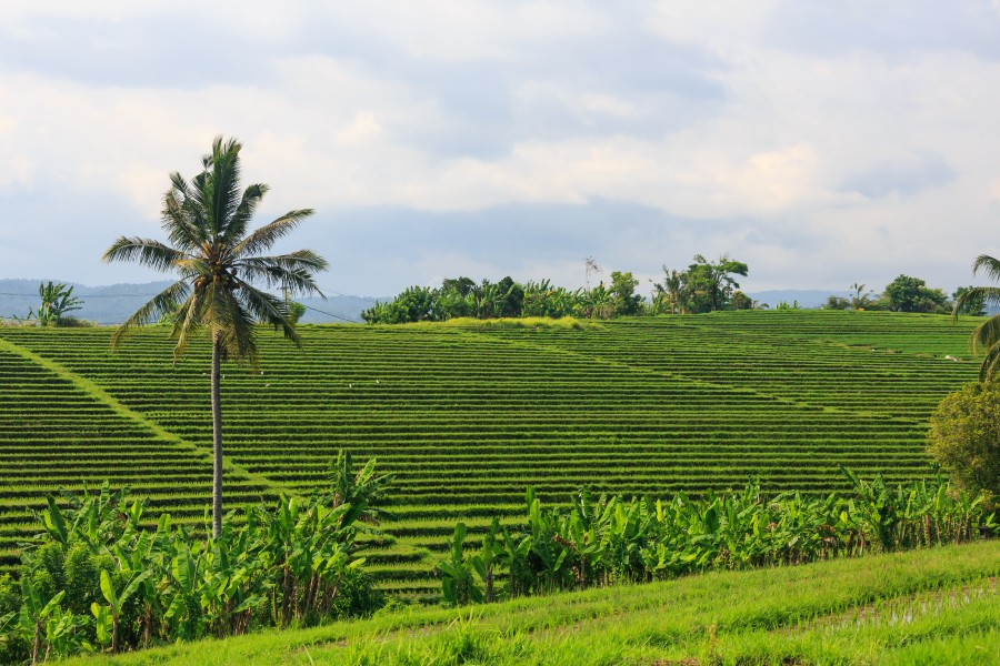 Tabanan-Regency Indonesia Rice-paddies-06