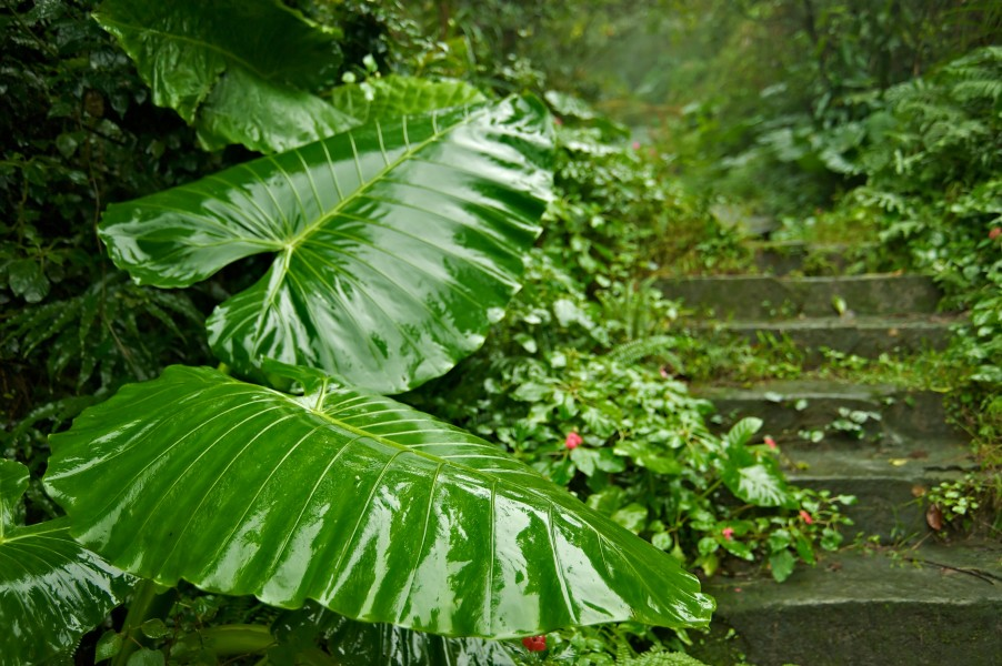 Taiwan 2009 JinGuaShi Historic Gold Mine Abandoned Trail Giant Taro Elephant Ear Taro FRD 8760