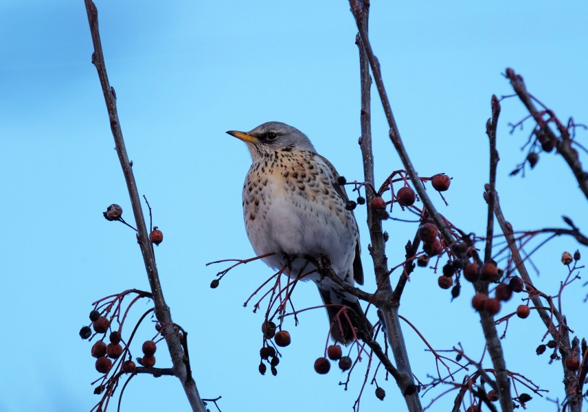 Turdus pilaris on Crataegus in winter