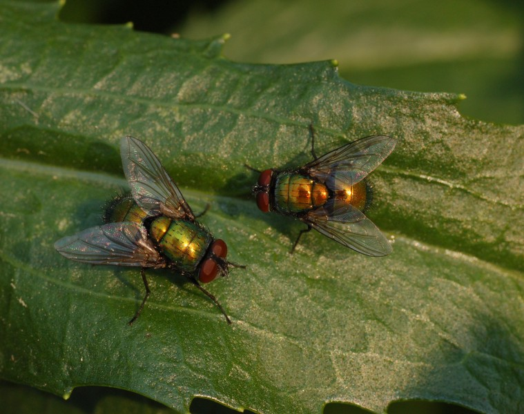 Unidentified Pair of Flies on a Leaf 2390px