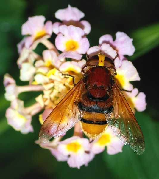 Volucella September 2007-2