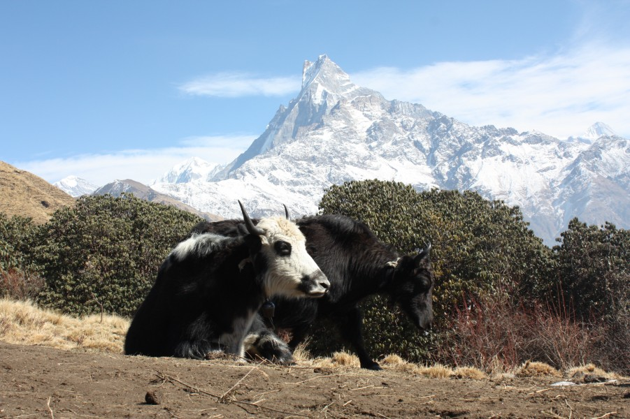 Yaks on the Mardi Himal trek