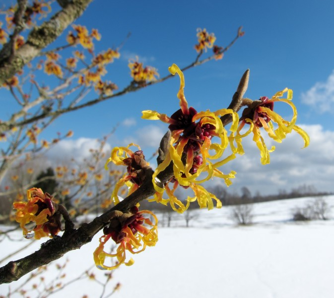 Zaubernuss Witch-hazel Hamamelis - Winterblueher Winter-flowering