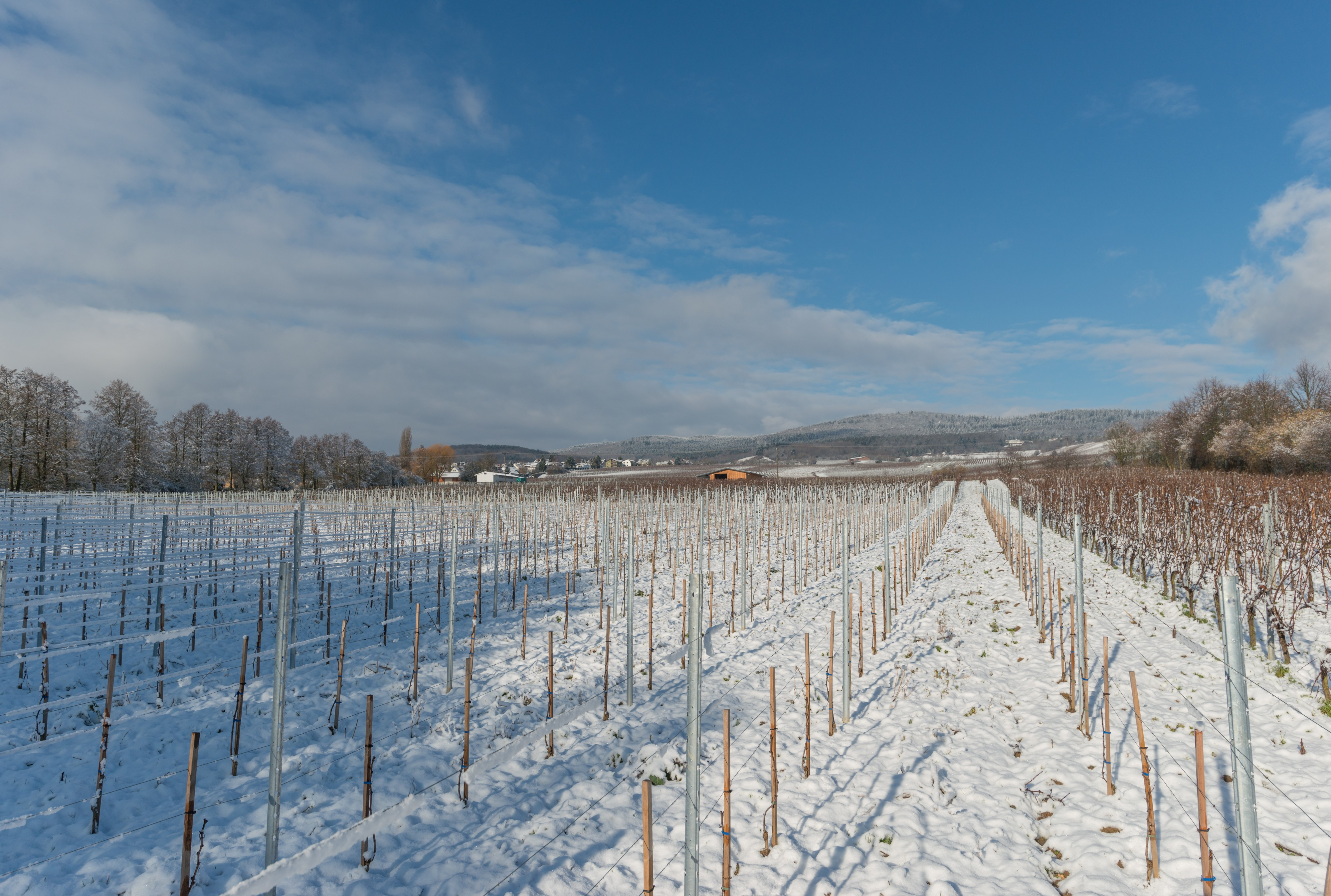 Snow-covered vineyards between Hattenheim and Hallgarten 20150201 1