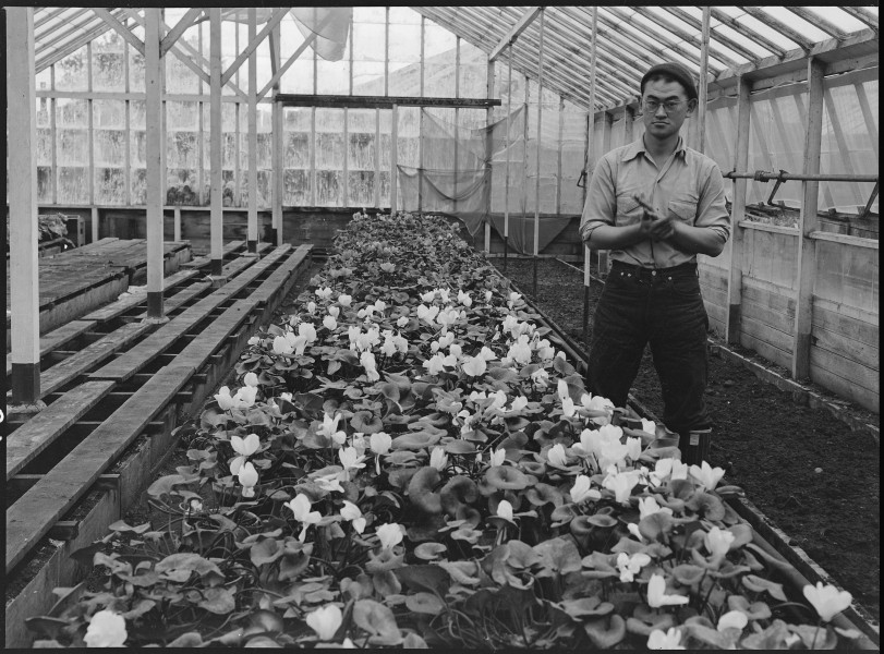 San Leandro, California. Greenhouse on nursery operated, before evacuation, by horticultural expert . . . - NARA - 536025