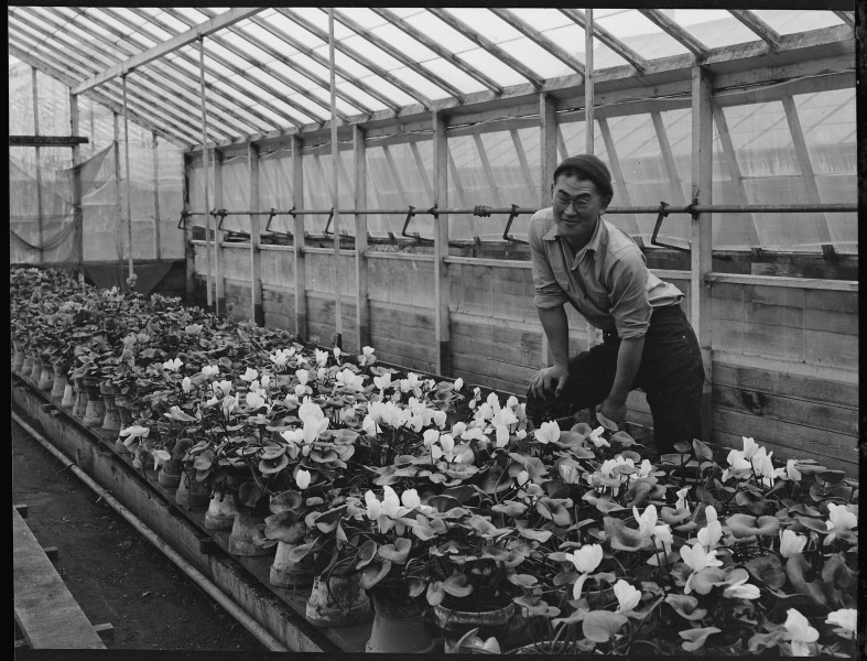 San Leandro, California. Greenhouse on nursery operated, before evacuation, by horticultural expert . . . - NARA - 537479