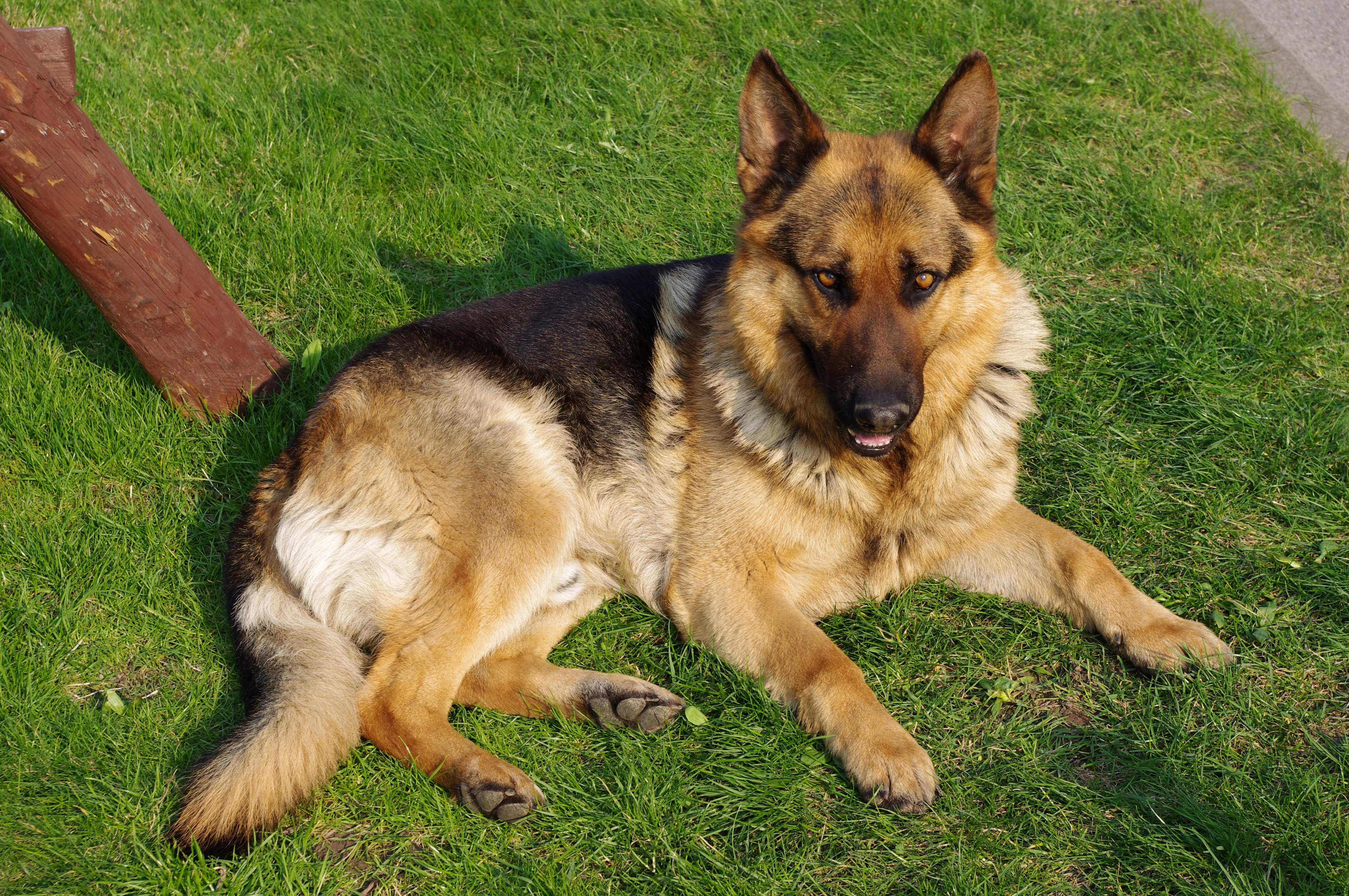 20110425 German Shepherd Dog 8505