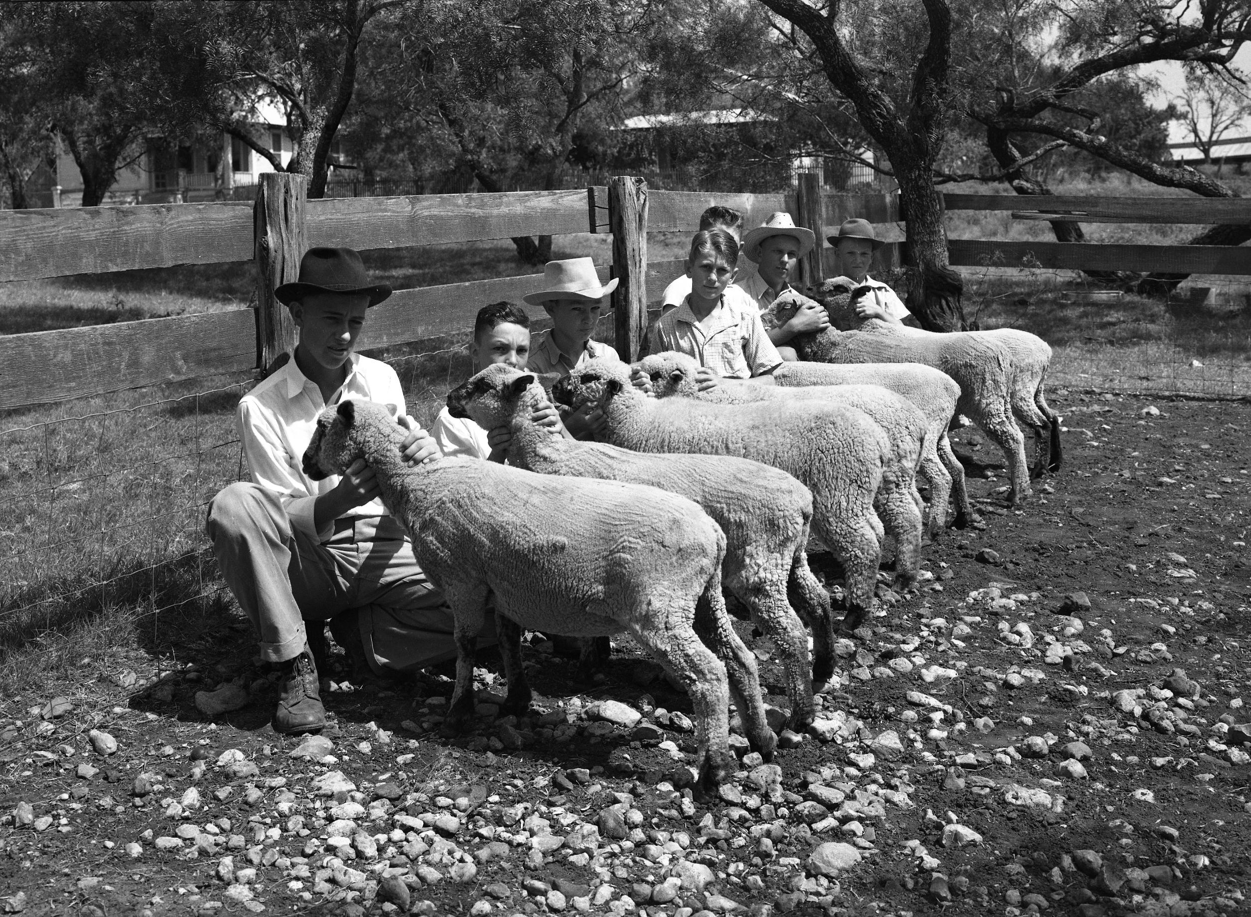 4-H Club Boys with Shopshire Sheep